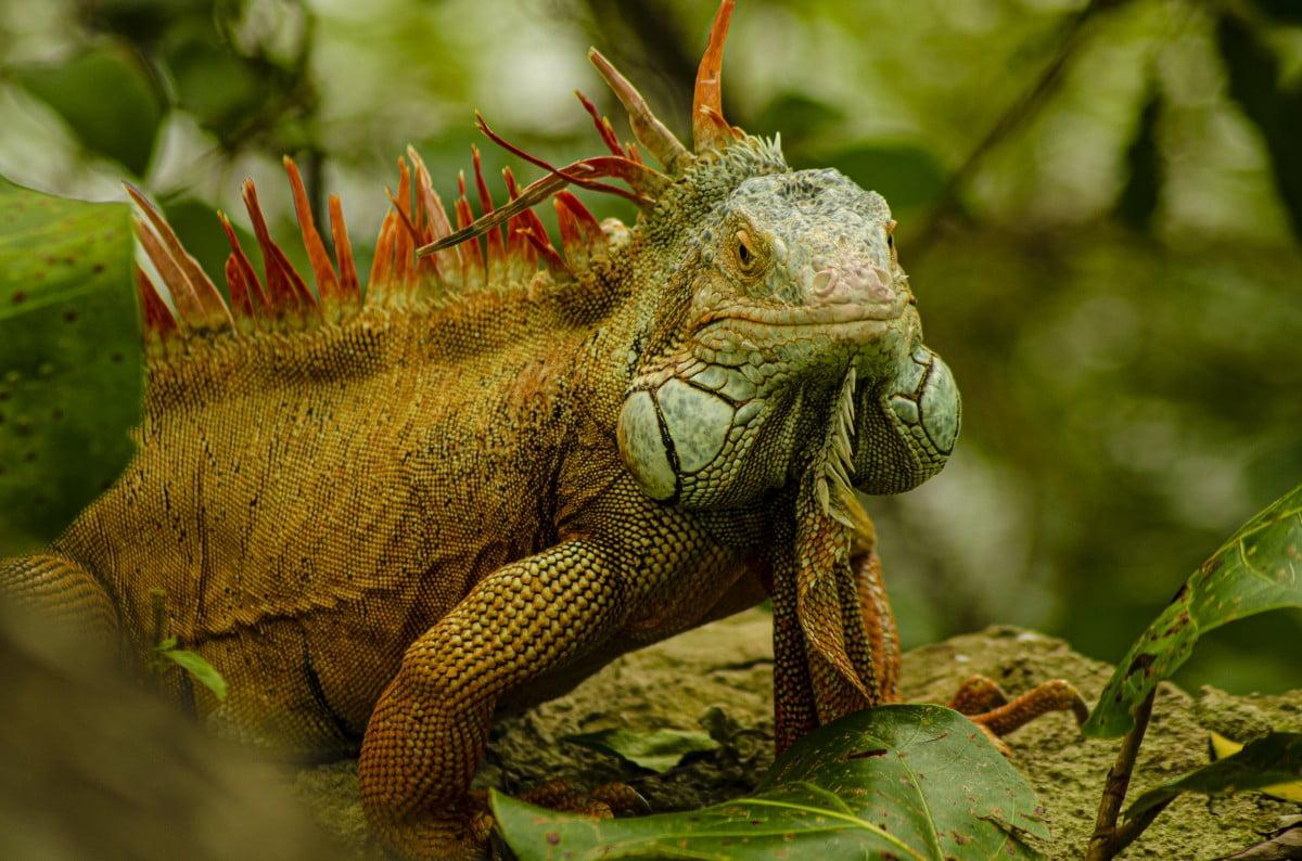 Fakta Seputar Iguana – Wajib Tau sebelum Memeliharanya!