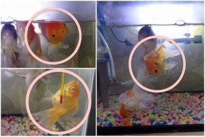Mengatasi Ikan Mas Koki Berenang Terbalik